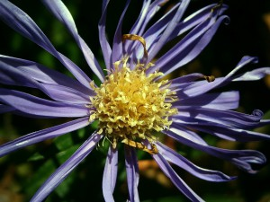 Neben Pollen können auch Pflanzen wie die Aster einer Allergie hervorrufen.