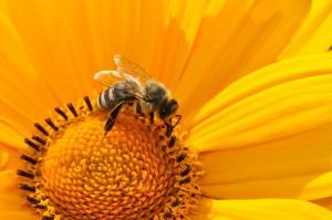 Pollen dienen in der Natur der Befruchtung von Pflanzen.