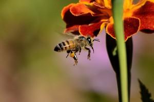 Bei einer Anaphylaxie kann ein anaphylaktischer Schock infolge eines Bienenstiches lebensbedrohlich sein.