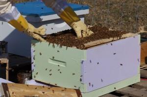 Bei Imkern erfolgt eine Hyposensibilisierung meist auf natürlichem Wege durch die Stiche der Bienen.