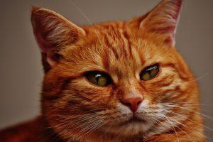 Bei Tierhaarallergie sind insbesondere die Allergene von Katzen besonders aggressiv.