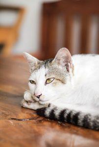Bei einer Innenraumallerige ausgelöst durch Katzen kann es zu besonders starken Symptomen kommen.