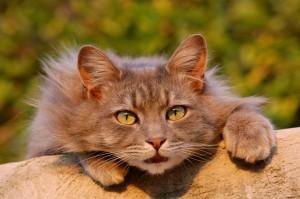 Bereits ein Katzenfoto kann bedingt durch die Psyche allergische Symptome hervorrufen.