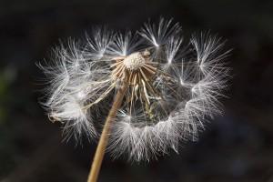 Bei Asthma bronchiale gilt es die Ursachen wie Pollen zu meiden.
