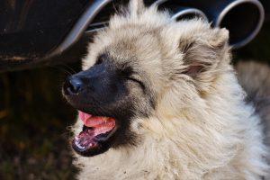 Hunde mit langem Fell führen seltener zu einer Hundeallergie als Rassen mit kurzen Haaren.
