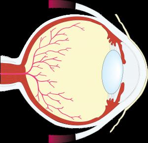 Das Auge beseht aus 4 Hauptgruppen.
