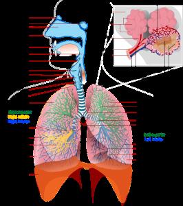 Das Lungengewebe wird von Lungebläschen durchzogen.