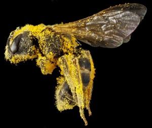 Bienen transportieren Pollen von Blüte zu Blüte auf der Suche nach Nektar und tragen so zur Befruchtung der Pflanzen bei.