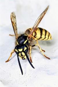 Am häufigsten führen Wespenstiche zu Anaphylaxien.