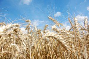 Weizen ist besonders reichhaltige an Gluten und findet häufig Verwendung in Lebensmitteln.