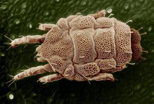 Bei einer Hausstaubmilbenallergie führen Milben und deren Kot zu allergischen Symptomen.