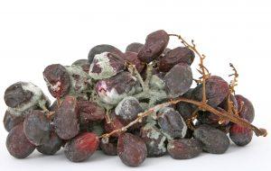 Schimmel kann sich auch schnell an Lebensmittel wie Obst und im Kühlschrank bilden.