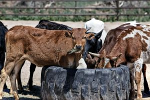 Der frühe Kontakt mit Tieren im Kindesalter auf dem Bauernhof kann Allergien vermeiden.