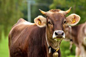 Sialinsäure aus dem Kontakt mit Tieren und dem Verzehr tierischer Lebensmittel schützt effektiv vor Allergien und Asthma.