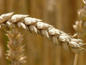 Bei der Zöliakie liegt eine Unverträglichkeit gegenüber Gluten, dem Klebereiweiß in Weizen vor.