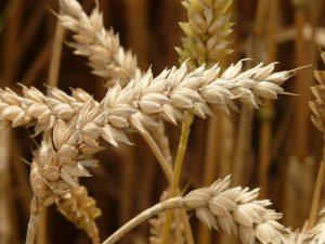 Die Weizenallergie ist nicht gleich zu setzen mit einer Gluten-Unverträglichkeit.