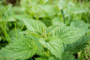 Die Brennesel löst nicht nur Hautirritationen aus, sie kann auch bei Allergien helfen.