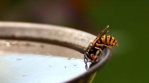 Durch offene Getränke können Wespen angelockt werden.