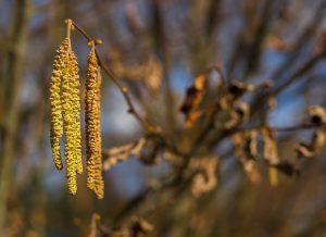 Die Pollen der Erle können eine Erlenallergie auslösen.
