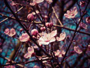 Frühblüher-Allergie treten immer früher und häufiger auf.