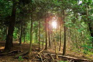 Kiefern sind in deutschen Wäldern weit verbreitet und wachsen schnell nach.