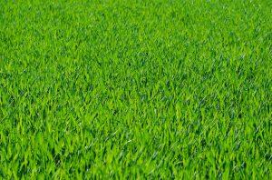 Die Gräserallergie wird häufig auch synonym verwendet für Heuschnupfen oder Gräserpollenallergie.
