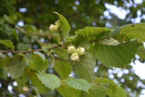 Die Hasel kommt als Baum und als Strauch vor und trägt die Haselnüsse, die ebenfalls zu Allergien führen können.
