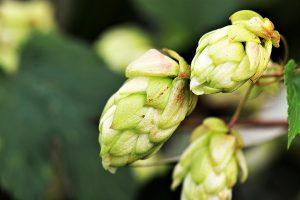 Die Hopfenallergie wird durch die Pollen des Hopfen ausgelöst.
