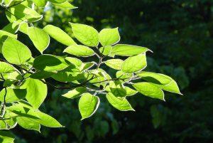 Durch Meidung der Pollen der Esche können die Symptome der Allergie gemindert werden.