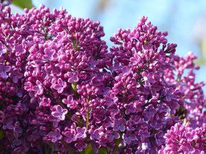 Die Fliederallergie wird durch die Pollen des Flieders ausgelöst.