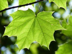 Die Ahorn-Allergie wird durch den Ahorn-Baum ausgelöst.