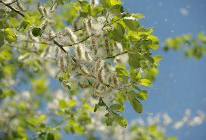 Durch Meiden der Pollen und Weidekätzchen kann man Symptome verhindern.