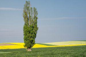 Die Pappelallergie wird durch die Pollen des Pappel-Baumes ausgelöst.
