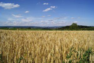 Roggen wird vor allem in Europa angebaut.