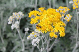 Die Beifuß-Allergie wird durch die Beifuß-Pflanze ausgelöst.