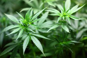Ähnlich wie bei Heuschnupfen gilt die Meidung der Cannabis-Pflanze, um Symptome zu lindern.