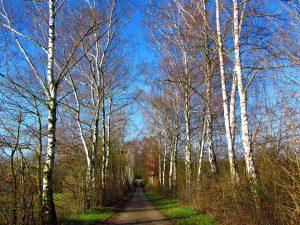 Die Birkenallergie wird durch die in Deutschland weit verbreitet Birke ausgelöst, bevorzugt im Frühjahr.
