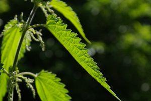 Die Brennnessel-Allergie wird durch Pollen der Brennnessel-Pflanze ausgelöst.
