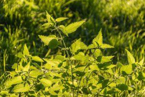 Die Brennnessel finden man häufig an Wegrändern des Waldes und auf wild gewachsenen Flächen als Unkraut.