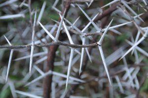 Der Akazien-Baum trägt scharfe Dornen und kann eine Akazien-Allergie auslösen.