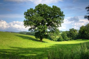 Eine Eichenallergie wird durch die Pollen des in Europa weit verbreiteten Baumes ausgelöst.