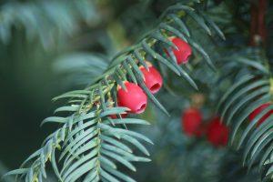 Die Eiben-Allergie wird durch die Pollen des immergrünen Nadelbaumes ausgelöst.