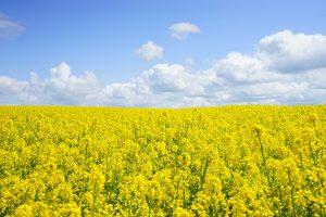 Bei der Rapsallergie lösen die Pollen des Rapses allergische Symptome aus. Rapsfelder blühen gelb und sind auf großen Flächen schön anzusehen.
