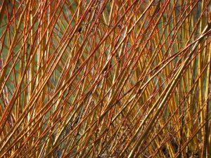 Es gibt gut 40 Arten der Weide.