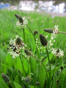 Der Spitzwegerich wird auch als Heilpflanze in Hustensäften und bei Atemwegserkrankungen genutzt.