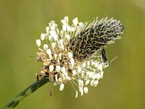 DieSpitzwegerich-Allergie wird durch die Pollen der Pflanze Spitzwegerich ausgelöst.