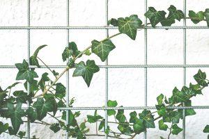 Efeu, auf Englisch climber, wächst auch gern an Zäunen hoch und entlang.