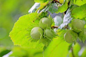 Bei der Haselnussallergie führen Haselnüsse zu allergischen Reaktionen.