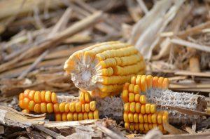 Kommt es beim Verzehr von Mais zu allergischen Beschwerden spricht man von einer Maisallergie.