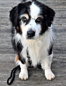 Allergien beim Hund, auch ein Hund kann einer Allergie erkranken.